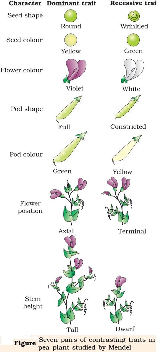 Gregor mendel pea plant experiment pdf