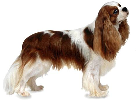 Ckc brittany spaniel grooming guide