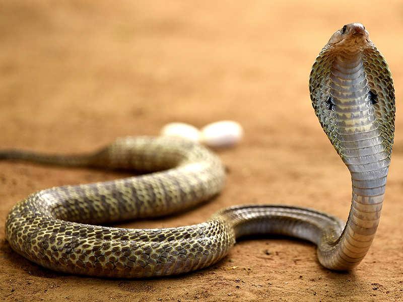Snake bite guidelines 2017 india